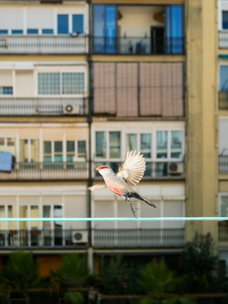 Birdwatching diary during lockdown of Barcelona